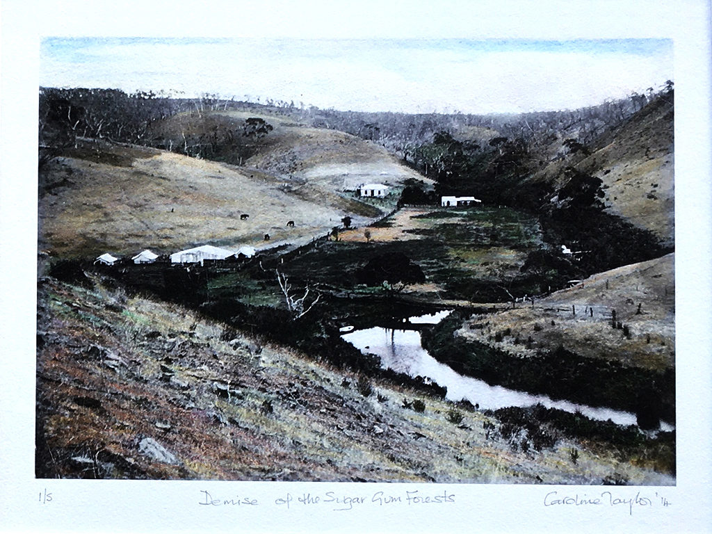 Demise of the Sugar Gum Forests, Hand Coloured photograph, Caroline Taylor