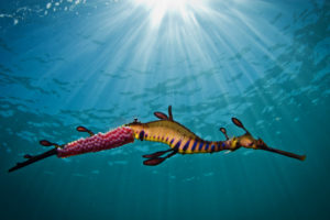 'Weedy Seadragon in Light' photograph by Richard Wylie - winner of the 2012 National Geographic Oceans Photography competition